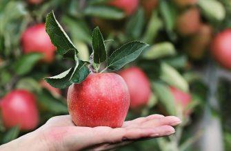 Гнилі яблука історія